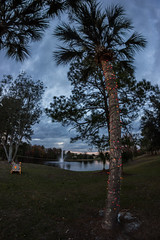 Christmas Tree, Florida Style (JackieN88) Tags: christmas sunset nature outside lights florida outdoor palm christmaslights palmtree fl centralflorida centralfl