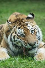 Amur Tiger (Annette Rumbelow) Tags: park camera sony tiger safari wilson wiltshire longleat annette amur rumbelow a550