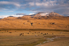 Last camping before Tosor pass (Michal Pawelczyk) Tags: sunset yak mountains animal nikon holidays asia flickr august centralasia kyrgyzstan jak wakacje 2014 biketrip highquality kirgistan sierpien d80