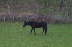 chevaux (zabou256 aussi sur Ipernity) Tags: chevaux horses pferde vert green grün pentax k30 pentaxk30