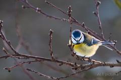 Blaumeise (Friederich Schmid) Tags: winter bird natur vogel canon100400 tierwelt remstal canon70d
