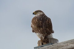 Ferruginous Hawk Watch