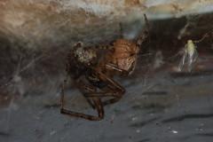 Cousin Cora Comes a Cropper to Cannibal Clarissa. (Procrustes2007) Tags: uk england spider suffolk britain wildlife arachnid flash nikond50 sudbury invertebrate withprey wildlifephotography tamron2xteleconverter nikkor50mmais zygiellaxnotata missingsectororbweaver vivitarextensionrings68mmtotal arachnidnewyear