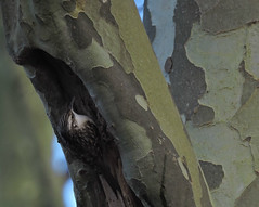 le caverneux (laetitiablabla) Tags: world france tree bird nature animal photography burgundy bourgogne arbre oiseau avian yonne grimpereau