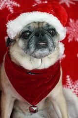 Bella (Cyn Reynolds) Tags: pug costume sandiego scratchsniffpetcare 2014 christmas a77ii
