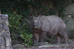 Indian Rhinoceros at Yokohama Kanazawa Zoo 2015-01-12 (kuromimi64) Tags: japan zoo rhino yokohama kanagawa   indianrhinoceros    greateronehornedrhinoceros kanazawazoo