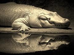 Mirror Mirror on the Wall... (praline3001) Tags: zoo louisiana reptile neworleans alligator audobonzoo leucistic whitealligator canon50mmf14usm leucisticalligator coth5 canonrebelt3i rememberthatmomentlevel4 rememberthatmomentlevel1 sunrays5 audoboninstitute rememberthatmomentlevel2 rememberthatmomentlevel3 rememberthatmomentlevel7 rememberthatmomentlevel9 rememberthatmomentlevel5 rememberthatmomentlevel6 rememberthatmomentlevel8