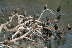 IMG_4320.jpg Cormorants (ldjaffe) Tags: cormorants schwanlake