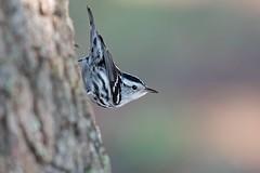 Black-and-white Warbler (Gregory Lis) Tags: stpetersburg florida blackandwhitewarbler mniotiltavaria fortdesotopark gorylis