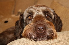 What do you want Fozzie? (Wilamoyo) Tags: portrait hairy dog brown face animal nose eyes furry hound canine sniff pooch creature mut springerdoodle christmas2014