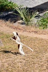 Coquerel sifaka and baby on the move!