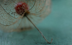 Physalis (Funchye) Tags: nikon physalis 105mm d610