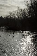 DSC_0082 (Yardbrush) Tags: animals swans canadagoose loughborough charnwoodwaters tuckersbrickyard