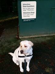 Gracie and the sign (walneylad) Tags: winter dog pet canada cute puppy gracie lab labrador britishcolumbia january canine labradorretriever northvancouver