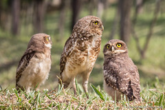 The tree brothers (Thelma Gatuzzo) Tags: bird nature animals brasil fauna sãopaulo wildlife ngc des raptor ave owl coruja animais silvestre athene oiseaux voegel terriers athenecunicularia burrowingowl sãoroque buho littleowl cunicularia corujaburaqueira vizcachera steenuil chevêchedathéna litteowl chevêchedesterriers kaninchenkauz chevêche lechucitavizcachera chouettedesterriers coth5 lechucitapampa thelmagatuzzo lechucitadecampo animailia thelmagatuzzophotography©