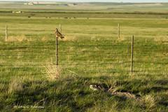 The Owl and Badger (jrumney) Tags: bird nature rural canon outdoors spring montana wildlife raptor badger owl prairie birdofprey taxus t3i shortearedowl asioflammeus taxidea cascademt canont3i