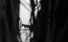 tale of bare Padma (Extinted DiPu) Tags: camera blackandwhite horse monochrome canon lens outside sand fotografie riverside outdoor kit dailylife 1855 riverbank bangladesh peopl padma lifescape kushtia canon700d lifestyleofbangladesghipeople peopleofpadma