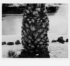 Date Palm (Torquay Palms) Tags: uk england bw white black west english fountain phoenix beautiful gardens canon island eos bay spring pond riviera britain south united country great kingdom palm m devon kings gb april canary 1855mm 29 date tor seafront torquay palmera ef canaria westcountry devons the torbay 2016 canariensis pcanariensis