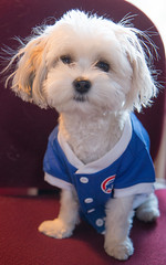 Pip is nervous. Will the Cubs pull it off? (Laura Erickson) Tags: family people pip havanasilkdog thunderroadspip