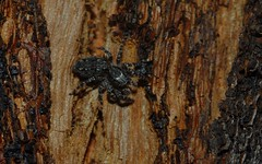 Clynotis severus (dustaway) Tags: nature australia nsw arthropoda arachnida araneae jumpingspiders salticidae araneomorphae australianspiders northernrivers tallowwood eucalyptusmicrocorys tullera clynotisseverus barkjumpingspider spideronbark tullerapark