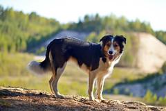 DSC_1672T (juliannahiaasen) Tags: portrait dog pet dogs animal training photography bordercollie australianshepherd dogphotography dogtraining dogportrait dogphotographer