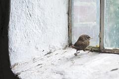 Cute baby wren (GLLpmj) Tags: windows baby cute nature birds barn babies mother chicks wren