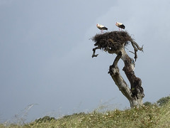 Cigognes dans la campagne portugaise (JMVerco) Tags: nid portugal cigogne flickrchallengegroup sailsevenseas shiningexcellence sunrays5
