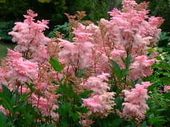 Filipendula rubra (yewchan) Tags: flowers flower nature colors beautiful beauty closeup garden flora colours gardening vibrant blossoms blooms lovely filipendula queenoftheprairie filipendularubra