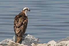 Osprey (Stephen J Pollard (Loud Music Lover of Nature)) Tags: bird raptor ave osprey birdofprey pandionhaliaetus pandionhaliaetuscarolinensis avedepresa averapaz gavilnpescador