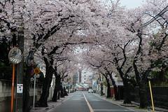 Sakura (nennnn) Tags: japan yok sakura fujifilm yokohama