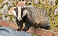 the badger.............. (Suzie Noble) Tags: wall fence garden badger badgers mustelid compostbin stonedyke strathglass struy