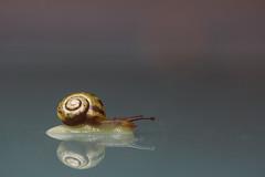 Schnecke auf dem Glastisch (Kokolori) Tags: macro is snail usm spiegelung schnecke f28l ef100mm