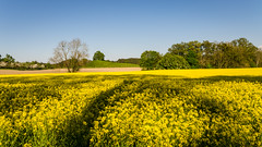 Field of gold (hjuengst) Tags: trees light green lines yellow landscape golden licht gelb grn landschaft bume lightandshadow rapeseed rapsfeld linien rapefield lichtundschatten