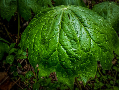 Tiny green umbrella (Leaning Ladder Photography) Tags: plant rain forest umbrella leaf foliage moisture lehighvalley easton dltrail leaningladder