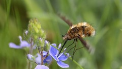Beefly (jaytee27) Tags: beefly naturethroughthelens