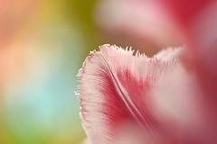 Lightness Of Being (Anna Kwa) Tags: art love petals nikon bokeh being tulip d750 always metaphor lightness milankundera my afsvrmicronikkor105mmf28gifed fringedtulip flowerdome gardensbythebay leojanek inthemists tulipacanasta annakwa tulipmania2016