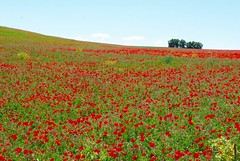 (Frivolity2501) Tags: landscape spring pentax outdoor poppy poppies provence printemps coquelicot impressionnisme k200d