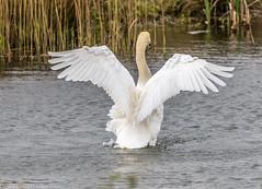 9Q6A0971 (2) (Alinbidford) Tags: swan muteswan greylaggoose whitethroat brandonmarsh alancurtis alinbidford