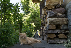 Brad Pitt, Antonio Banderas & Richard Gere  (Xena*best friend*) Tags: wood wild italy pet cats pets animal animals fur chats spring furry woods feline flickr outdoor tiger kitty ab kittens whiskers piemonte gato calico purr paws bp antoniobanderas bradpitt gatto katzen pussycat markings firewood feral wildanimals doingnothing piedmontitaly allrightsreserved efs18135mm canoneos760d digitalrebelt6s