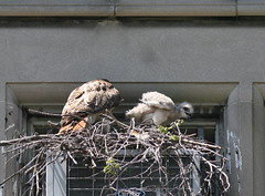 Red-tailed Hawks (Peter Simpson) Tags: toronto canon f4 redtailedhawks