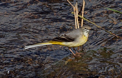2016_05_0191 (petermit2) Tags: abbey nt yorkshire fountains fountainsabbey nationaltrust northyorkshire wagtail studleyroyal studleypark greywagtail riponstudleyroyalpark