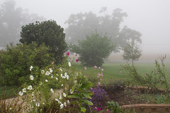 September Morning, Front Path (marylea) Tags: flowers foggy milkweed asters 2015