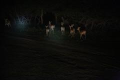 Impala 1 (cj_hunter) Tags: africa game animal animals night dark african wildlife safari ghana antelope impala nightsafari