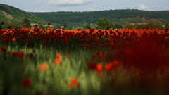 Coquelicots (Odile Ancrenas Photos) Tags: red landscape rouge bokeh poppies paysage extrieur flou champ coquelicot