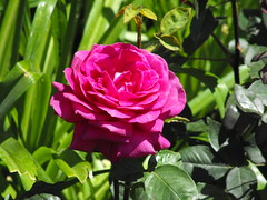 Purple rose (Stella VM) Tags: pink flowers roses beautiful garden purple redroses