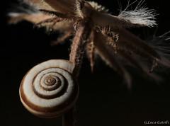 Piccola lumaca (gianluca.catelli) Tags: macro lumaca