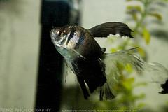 fish tank (5) (krenzphotography) Tags: life pets fish animals mystery aquarium tank goldfish snail molly tetra aquatic dalmatian freshwater longskirt