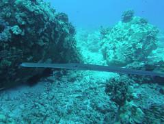 Trumpet 2 (AZDropTop) Tags: scuba diving