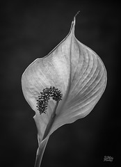 Fading Lily (Mike Hankey.) Tags: light blackandwhite closeup published lily form fading shape
