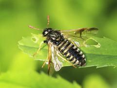 Sawfly - Abia sericea (Prank F) Tags: uk macro nature closeup insect fly wildlife rutland ketton wildlifetrust lrwt sawfly cimbicidae abiasericea kettonquarry